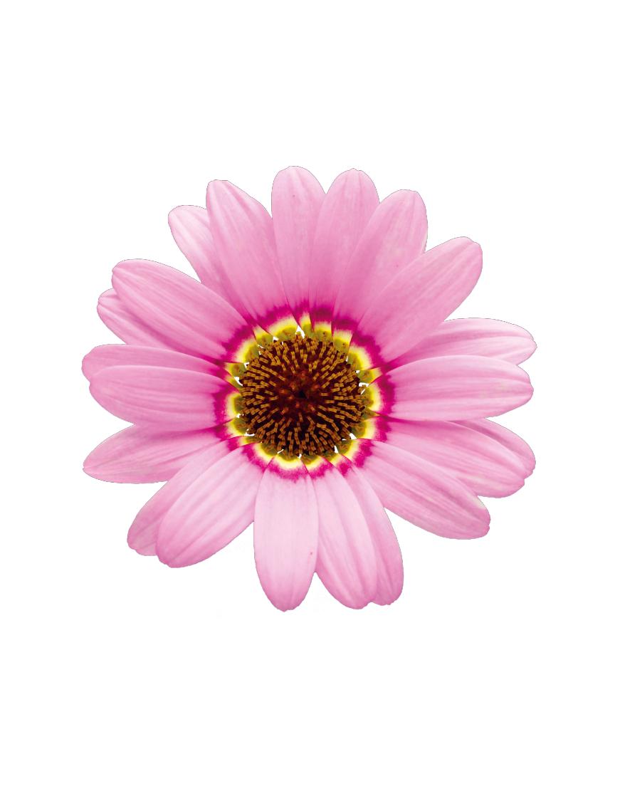Grandaisy® Pink Halo