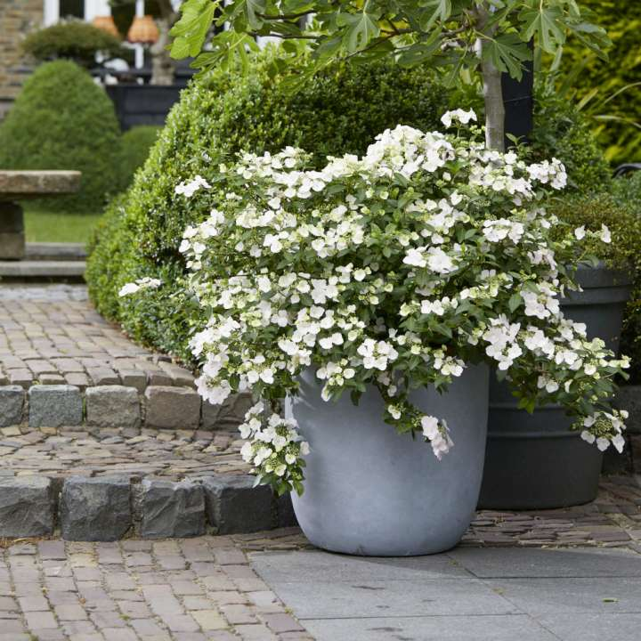 New Plant Hydrangea Runaway Bride News Cowell S