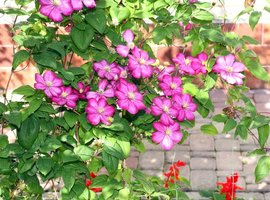 Clematis pruning made simple