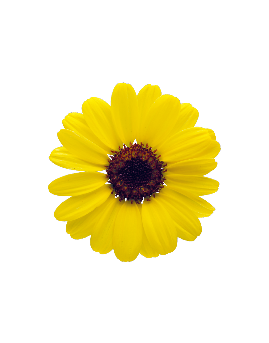Grandaisy® Yellow